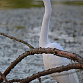 Great Egret by Deanna Cagle