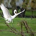 Great Egret Prepared For Landing by Roy Williams