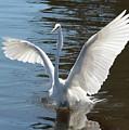 Great Egret Wings by Carol Groenen