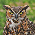 Great Horn Owl Nature Educator by Tom Janca