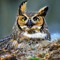 Great Horned Owl by Bill Dodsworth