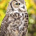 Great Horned Owl by David Millenheft