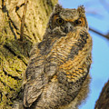Great Horned Owl Fledgling  by Robert Smice