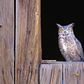 Great Horned Owl by John Hyde - Printscapes
