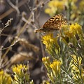 Great Spangled Fritillary 2 by LKB Art and Photography