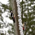 Great Spotted Woodpeckers by Jouko Lehto
