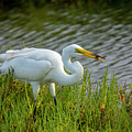 Great White Egret 2 by Donald Pash