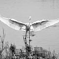 Great White Egret by David Kay