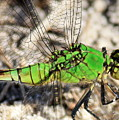 Green Dragonfly Closeup by Carol Groenen