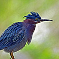 Green Heron by Rodney Campbell