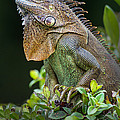 Green Iguana Iguana Iguana, Sarapiqui by Panoramic Images