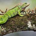 Green Iguana Iguana Iguana, Tarcoles by Panoramic Images