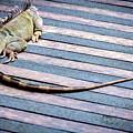 Green Iguana by Jijo George