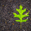 Green Leaf by Angus Hooper Iii