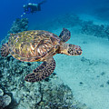 Green Sea Turtles  by Dave Fleetham - Printscapes