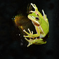 Green Tree Frog by Eric Abernethy