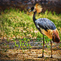 Grey Crowned Crane by Dave Bosse