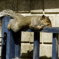 Grey Squirrel by Mike Lester