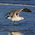 Gull  by Angela Rath