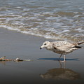 Gull With Fish  by Christy Pooschke