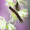 Gypsy Moth Caterpillar by Clifford Pugliese