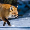 Handsome Mr. Fox by Yeates Photography