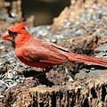 Hungry Cardinal by Carol Groenen