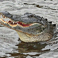 Happy Florida Gator by Carol Groenen