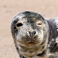 Harbor Seal by Beth Sibik