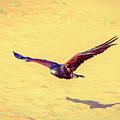 Harris Hawk by Alexey Stiop