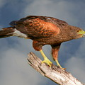 Harris's Hawk On Watch by Myrna Bradshaw