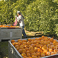 Harvesting Navel Oranges by Inga Spence