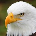Head Of An American Bald Eagle by Robert Hamm