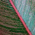 Heliconia Leaf by Peter French - Printscapes