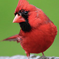 Hello Cardinal by PJQandFriends Photography