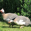 Helmeted Guineafowl by J McCombie