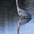 Heron Reflection by Randall Ingalls