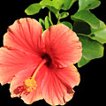 Hibiscus by Shane Bechler