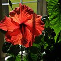 Hibiscus by Tim Nyberg