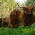 Highland Cows by Angel Ciesniarska