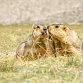 Himalayan Marmots Pair Kissing In Open Grassland Ladakh India by Rudra Narayan  Mitra