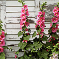 Hollyhocks by Bruce Morrison