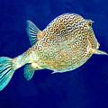 Honeycomb Cowfish by Perla Copernik
