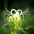 Honeysuckle Love by Jerilyn Ezinga