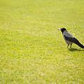 Hooded Crow Bird Gathering Hay by Arletta Cwalina