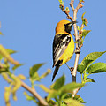 Hooded Oriole by Thomas Morris