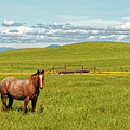 Horse Grazing by Robert Urwyler