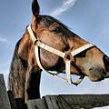 Horse Portrait by Daliana Pacuraru