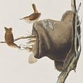 House Wren by John James Audubon