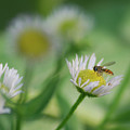 Hoverfly by Michael Peychich